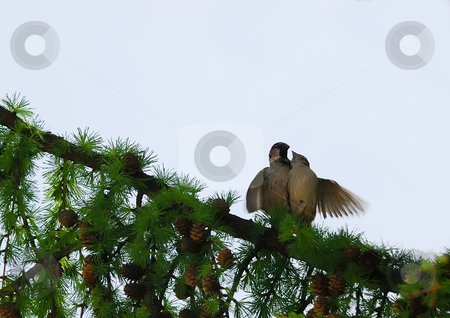Sparrow couple making love stock photo, A couple of sparrows making love on a branch by Ivan Paunovic