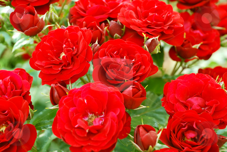 Red roses stock photo, A bunch of red roses in a garden by Ivan Paunovic