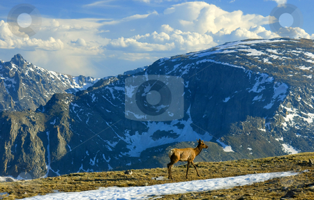 Rocky Mountain High stock photo, A spike Elk wanders across and alpine meadown high in the Rocky Mountains of Colorado by Mike Dawson