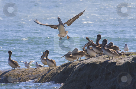 No room at the Inn stock photo, A brown pelican finds no room as he tries to land on a rock crowded by fellow pelicans and a few seagulls as well. by Mike Dawson