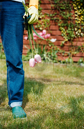 MPIXIS617009 stock photo, Gardener holding tulips by Mpixis World
