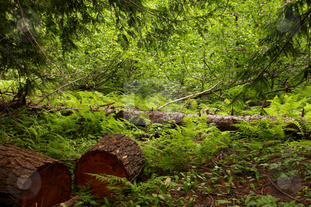 Forest Scene stock photo, Forest scene with cut logs, ferns and trees. by Steve Stedman