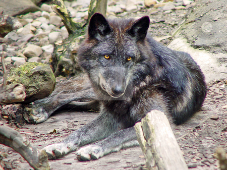 Lying black wolf stock photo, A black wolf with orange eyes lies in its enclosure. Picture taken in the zoo of Hanover by Emmanuel Keller