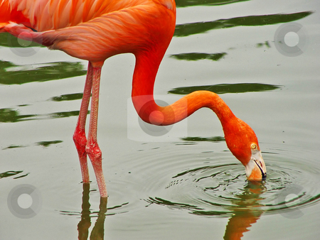 Flamingo fishing stock photo, A flamingo fishing in an artificial pond. Picture taken at a zoo in Germany by Emmanuel Keller