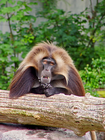 Gelada baboon posing stock photo, Male gelada leaning on a log and looking to the camera at the zoo of Z???rich by Emmanuel Keller