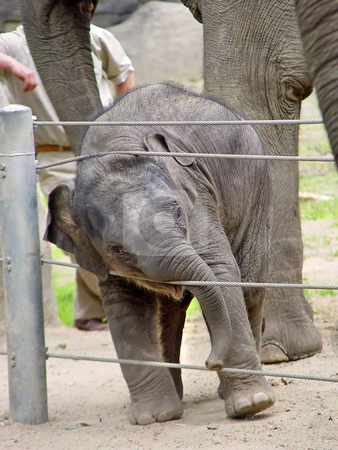 Playing elephant calf stock photo, A young elephant bull plays with the fence of his enclosure. Picture taken at a zoo in Germany by Emmanuel Keller
