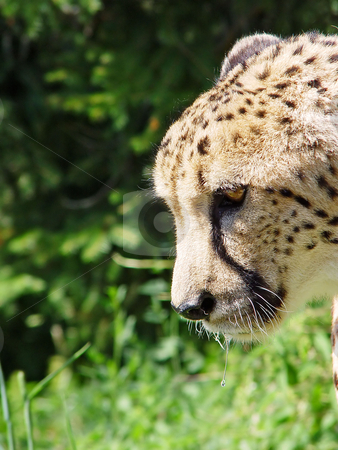 Cheetah profile stock photo, Profile portrait of a male cheetah living in a Swiss zoo by Emmanuel Keller