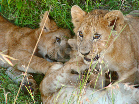 Playing lion cubs stock photo, Lion cubs playing in the grass of the Masai Mara National Park, Kenya by Emmanuel Keller