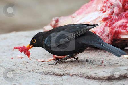 Blackbird picking meat stock photo, A blackbird steals a piece of the meat of the tigers. Picture taken in the zoo of Z???rich by Emmanuel Keller