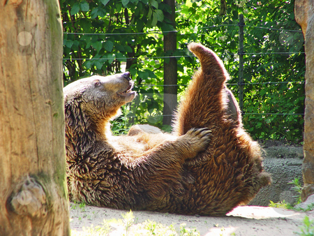 Funny bear stock photo, A bear lies on its back in a funny position, in its enclosure. Picture taken in the zoo of Berlin by Emmanuel Keller