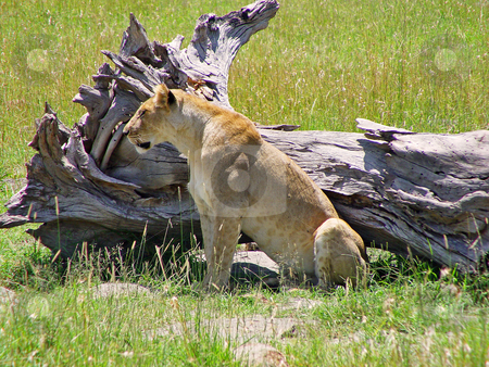 Lioness besides a dead tree stock photo, A lioness sits in front of a dead tree. Picture taken in the Masai Mara National Park, Kenya by Emmanuel Keller
