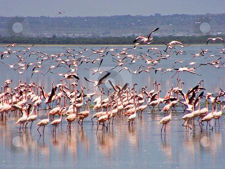 Flying flamingos stock photo, Flamingos flying or walking on the Lake Nakuru in Kenya by Emmanuel Keller