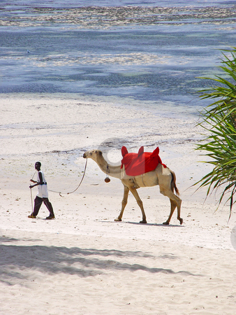 A man and a camel stock photo, A many is walking with his camel. The camel is a touristical attraction, it is used for touring on the beach. Picture taken on the Shanzu beach, Mombasa, Kenya by Emmanuel Keller