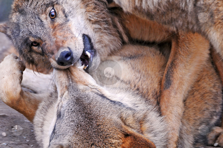 Fighting wolves stock photo, Closeup of two wolves fighting. The top one is showing its dominance by biting the snout of the other one. by Emmanuel Keller