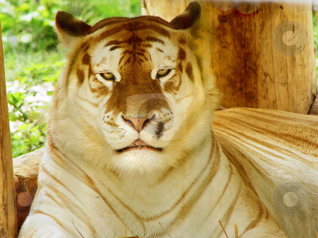 Portrait of a golden tiger stock photo, Portrait of a golden tiger. Golden tigers are a mutation of the Bengal tiger and are very rare. This one lives in a zoo in Switzerland by Emmanuel Keller