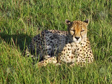 Cheetah lying in the grass stock photo, A female cheetah lies in the grass of the Masai Mara National Park, Kenya by Emmanuel Keller