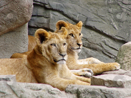 Posing lion cubs stock photo, Two six month old lion cubs lie besides each other, on a rock in their enclosure. Picture taken in a zoo in Germany by Emmanuel Keller