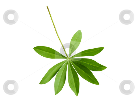 Lupin leaf stock photo, Isolated lupin leaf by Juliet Photography