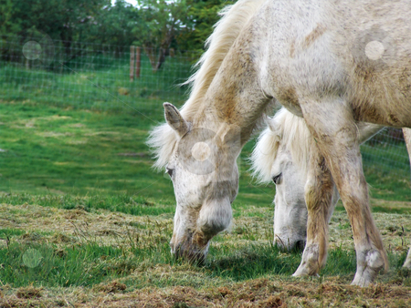 White horses stock photo, White horses eating the grass by Juliet Photography