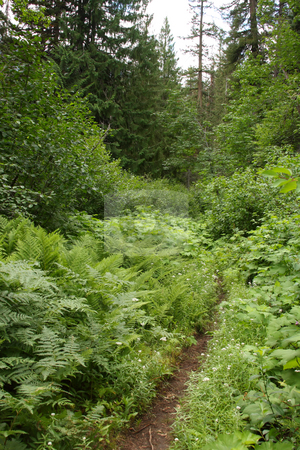 Forest Trail stock photo, A trail leading off into the Pacific Northwest Forest.  Part of the Pacific Crest Trail. by Steve Stedman