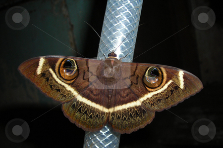 Moth stock photo, A beautiful moth resting on a water hose pipe. by Rose Nthiwa
