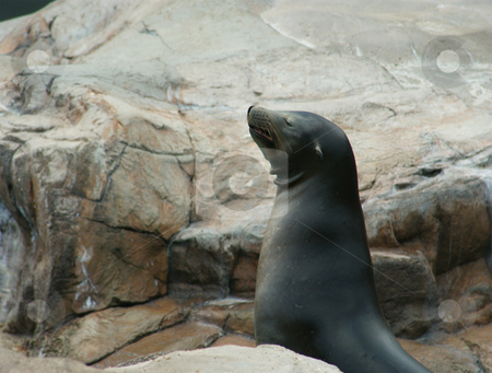 Sealion stock photo, A happy sealion sunning himself outside on the rocks by Sam Sapp