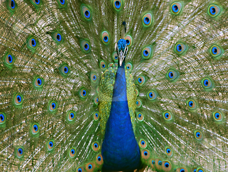 Peacock stock photo, A male peacock on full display during mating season by Sam Sapp