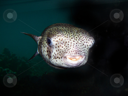 Puffer stock photo, A smiling puffer fish in an aquarium by Sam Sapp