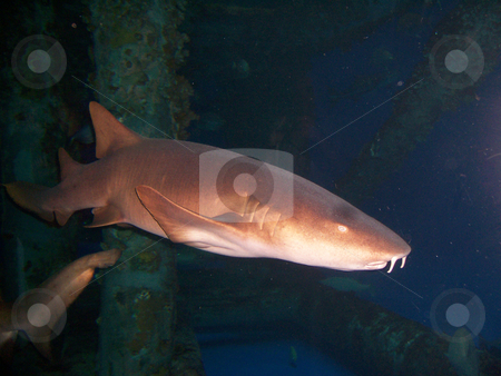 Shark stock photo, A brown shark swimming and looking for food by Sam Sapp