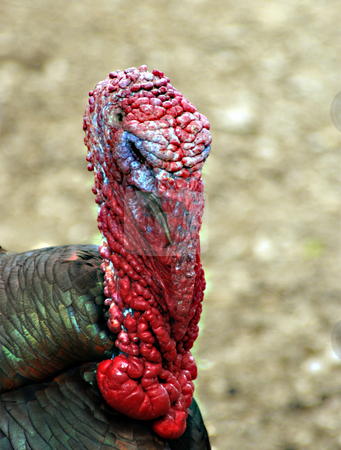 Turkey stock photo, A male turkey upclose during mating season by Sam Sapp