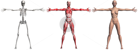Skeleton and Muscles of a Human Female stock photo, Anatomical illustration of the skeleton and muscles of a human female. 3D render. (NO genitalia or nipples._ by Michael Brown
