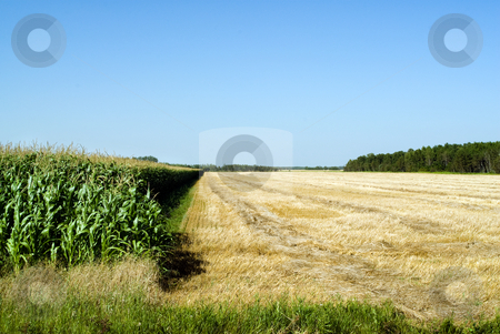 Cultivating Corn stock photo, A corn field being cultivated with copyspace in the sky by Richard Nelson