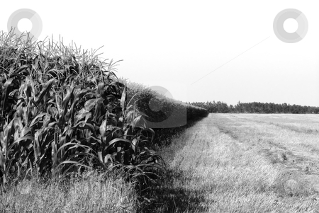 Farming stock photo, A black and white landscape of a corn field by Richard Nelson