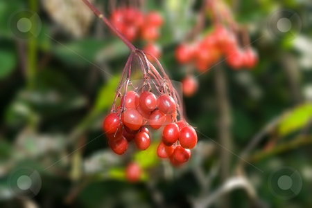 Crab Apples stock photo, A group of small red crab apples hanging from a tree by Richard Nelson