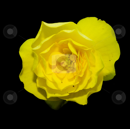Yellow Flower stock photo, Closeup of a yellow flower head isolated on a black background by Richard Nelson