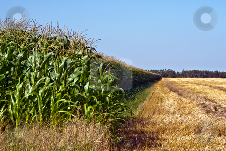 Lush Corn Field stock photo, A vibrant and lush corn field under a blue sky by Richard Nelson