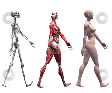 Skeleton and Muscles of a Human Female stock photo, Anatomical illustration of the skeleton and muscles of a walking human female. 3D render. by Michael Brown