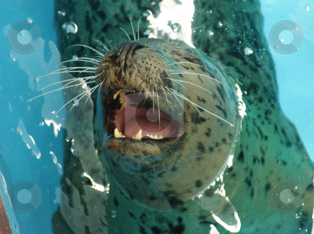 Hungry Sealion stock photo, A sea lion waiting for some fish by Sam Sapp