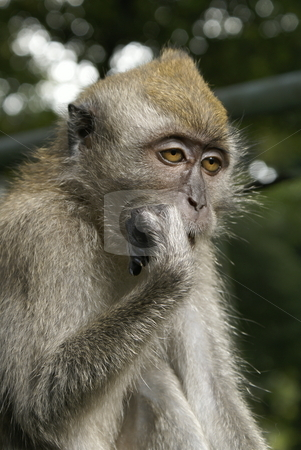 Sleepy long tailed macaque portrait stock photo, Sleepy long tailed macaque portrait by Wong Chee Yen