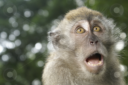Long tailed macaque monkey frightened stock photo, Long tailed macaque monkey frightened by Wong Chee Yen