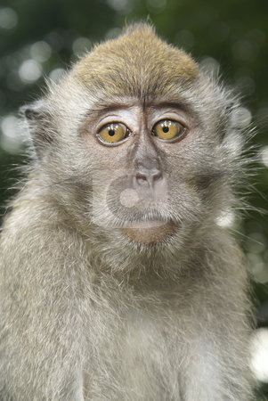 Macaque monkey worry portrait stock photo, Long tailed macaque looking worried portrait by Wong Chee Yen