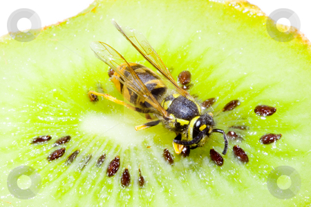 Wasp on a Kiwifruit stock photo, Detail of a common wasp on a Kiwifruit - Vespula vulgaris by Petr Koudelka