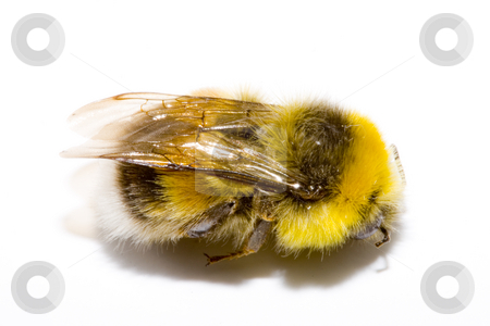 Bumblebee  stock photo, Detail of a bumblebee (bombus) on the white background by Petr Koudelka