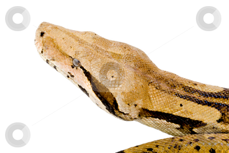 Head of a Boa stock photo, Head of a large adult Boa Constrictor  - detail by Petr Koudelka