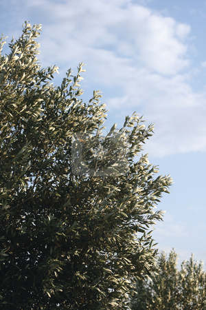 Olive tree stock photo, Olive tree leaves and blue sky for background use with copy space by EVANGELOS THOMAIDIS