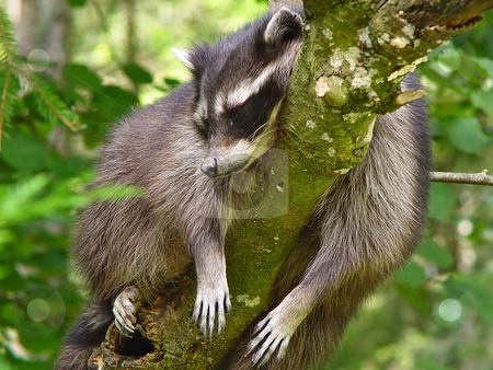 Raccoon sleeping in a tree stock photo, A raccoon sleeps in a tree. Picture taken in a Swiss zoo by Emmanuel Keller