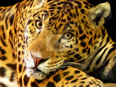Portrait of a jaguar stock photo, Portrait of a male jaguar living in the Dublin zoo by Emmanuel Keller