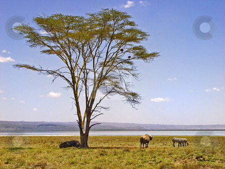 Tree and animal stock photo, Two zebras and three buffalos resting in the shadow of a tree. Picture taken in at the Nakuru Lake, Kenya by Emmanuel Keller