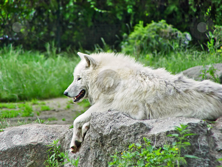 Lying white arctic wolf stock photo, A white arctic wolf, originary from Canada, lies on a rock by Emmanuel Keller