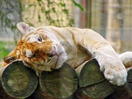 Resting golden tiger stock photo, A rare golden tiger rests on its platform made of wooden logs. Picture taken in a Swiss zoo by Emmanuel Keller